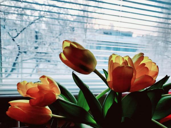 Tulppaaneja ikkunalaudalla