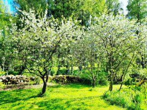Kukkivia omenapuita