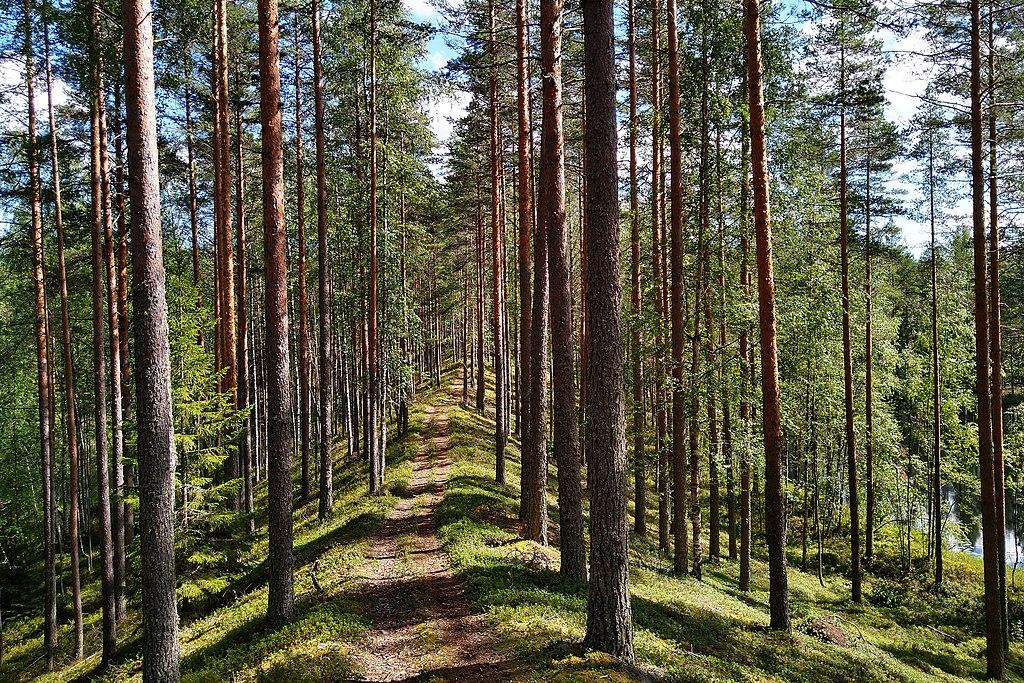 Tyypillinen harju metsässä