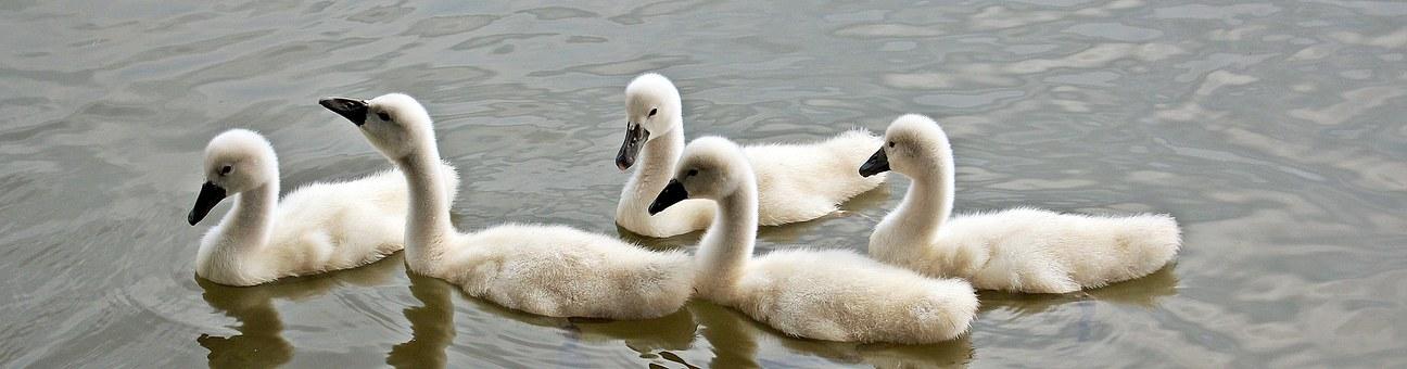 swans-1436275__340