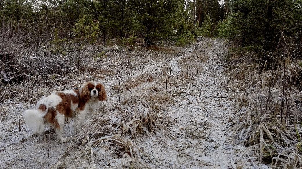 Jouluaamu alkoi tänään koiran ulkoiluttamisella metsässä. Lunta ei paljoa näy.