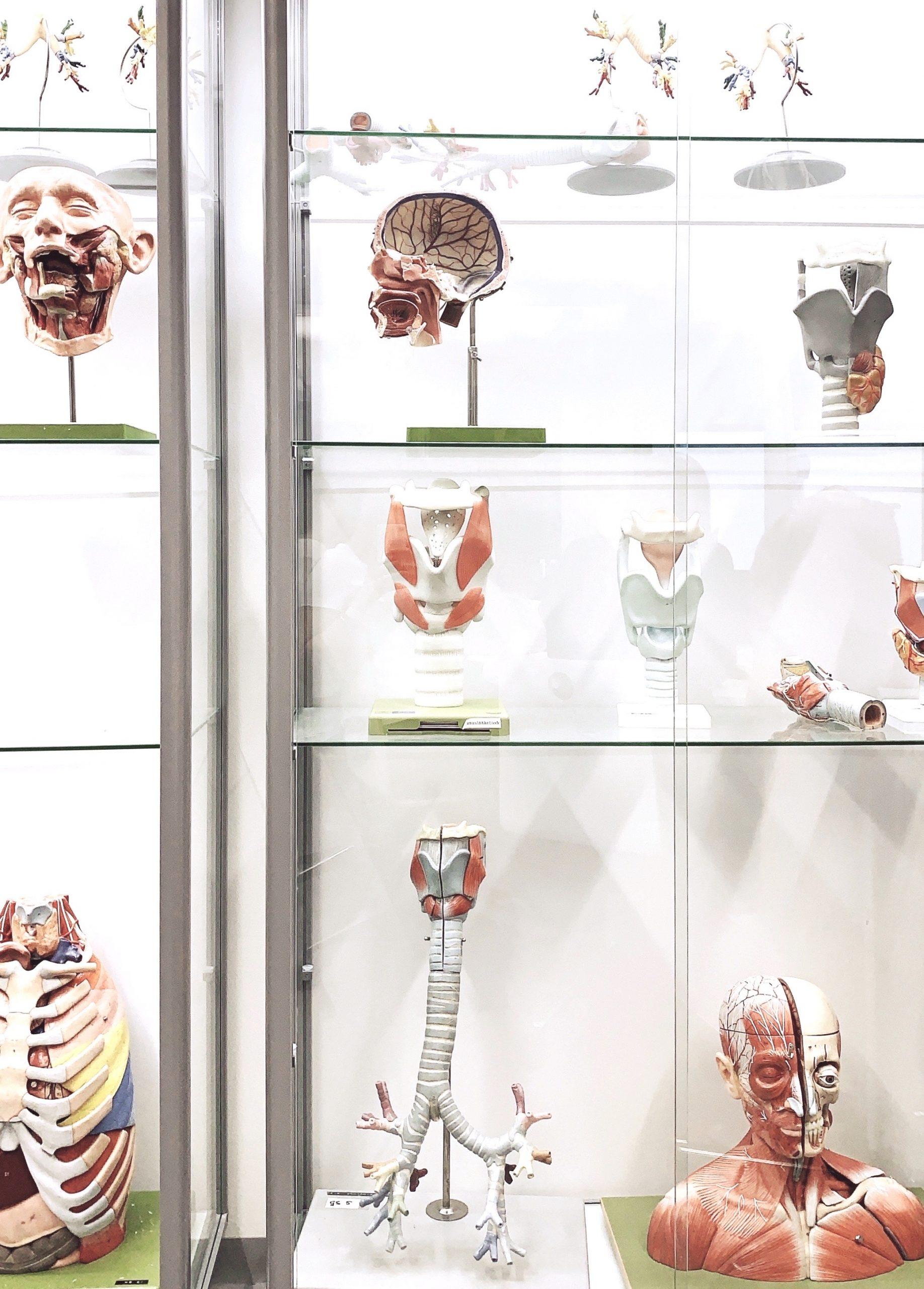 Ihmisen fysiologian ja anatomian opiskelutilojen anatomisia malleja